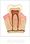 Pulp Tooth Anatomy